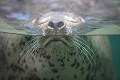 Breathing (moaan) Tags: kobe hyogo japan jp animal seal spottedseal breath breathing animalexpression aquarium water surface outdoor dof depthoffield focusonforeground selectivefocus bokeh bokehphotography canoneos5dsr ef70200mmf28lisiiusm utata 2018 expression suma aqualife sumaaqualifepark