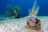 A colony of social feather duster worms (Bispira brunnea) (jonmcclintock) Tags: underwater carribean caymanbrac adventure caymanislands scuba travel diving