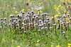 Herzblättrige Kugelblume - Globularia cordifolia (steffi's) Tags: plantaginaceae montemartano montimartani umbria umbrien italiy italia italien