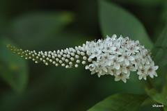 1-DSC_0060 (adamsshawn390) Tags: lysimachia clethroides gooseneck flowerwatcher