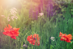 Summer Haze (sminky_pinky100 (In and Out)) Tags: poppies lupines flowers nature sunlight grass meadow tanglesgarden grand prenova scotia pretty landscape colourful scenic garden outdoors floral travel tourism omot cans2s fff