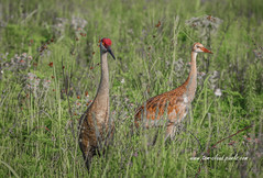 Adult and Juvenile (tclaud2002) Tags: crane bird sandhill sandhjillcrane sandhillcrane wildlife nature mothernature outdoors grass tallgrass pineglades naturalarea pinegladesnaturalarea jupiter florida usa