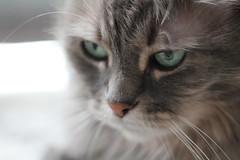 My baby (MomOfJasAndTam) Tags: shayla cat feline face portrait eyeys fur furry pet animal baby