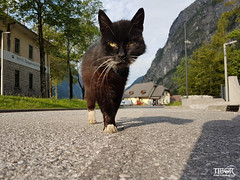 Cat @ Trenta (morbidtibor) Tags: cat kat kater poes kitten pussycat slovenia trenta