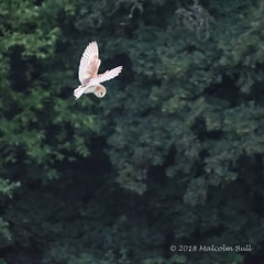 Barn Owl - Woods Mill (145) (Malcolm Bull) Tags: include woods mill barn owl 20180620woodsmill0145edited1web