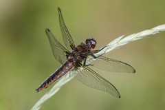 scarce chaser (colin 1957) Tags: scarcechaser dragonfly lakenheath