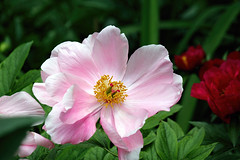 A Pink Peony Rose (Brian 104) Tags: peony flower pink bloom delicate plant
