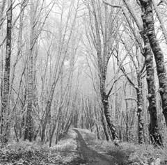 That path yonder (Zeb Andrews) Tags: hasselblad kodaktrix film mediumformat blackwhite forestpark oregon winter monochrome trees thoughts ruminations scannedatbluemooncamera nikoncoolscan9000