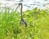 O2K_9550 (68photobug) Tags: 68photobug nikon d7000 sigmadg 150500mm usa centralflorida polkcounty lakeland preserve refuge sanctuary nature circlebbar heron tricoloredheron bird wadingbird marshrabbitrun