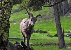 Bighorn Ewe on log - 6821b+ (Teagden (Jen Hall)) Tags: bighorn sheep ewe bighornsheep bighornewe jenniferhall jenhall jenhallphotography jenhallwildlifephotography wildlifephotography wildlife nature naturephotography photography wild nikon wyoming wyomingwildlife