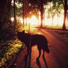 sunset with Totoro 🐶 (Jos Mecklenfeld) Tags: totoro sunset dutchshepherd shepherd dog hollandseherder hollandseherdershond herder herdershond hond sonyxperiaz5 xperia