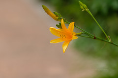 S18X6159 (Daegeon Shin) Tags: fujifilm xpro2 fujinon xf55200 55200 flower flor hemerocallisesculentakoidz 각시원추리 심도 dof 후지 후지논 꽃