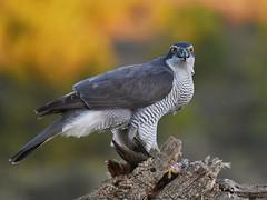 Açor / Northern Goshawk (anacm.silva) Tags: açor northerngoshawk goshawk ave bird wild wildlife rapina nature natureza naturaleza birds aves espanha spain accipitergentilis coth5