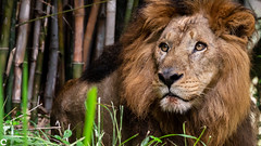 Asiatic Lion (raveclix) Tags: raveclix india incredibleindia canon canon5dmarkiii canonef100400mmf4556lisiiusm bannerghattabiologicalpark bannerghatta bangalore karnataka asiaticlion pantheraleopersica