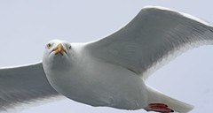 Goéland argenté-european herring gull (Puce d'eau) Tags: oiseaux birds aves mouette goéland goélandargenté bretagne 7iles perrosguirec wildlife ornithologie sauvage vol portrait regard canon 7d tamron 150600 europeanherringgull