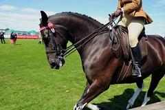 Riding Horse (Elrenia_Greenleaf) Tags: tobiano bay ridinghorse ridinghorseclass royalhighlandshow rhs rhs2018 royalhighlandshow2018 equestrian horsephotography horseshow ponies