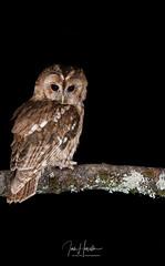 Tawny Owl (Ian howells wildlife photography) Tags: ianhowells ianhowellswildlifephotography nature naturephotography nationalgeographic tawnyowl tawny wildlife wales wildlifephotography wildbird wild owl