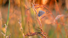 A summer dream ... (ej - light spectrum) Tags: makro macro butterfly schmetterling summer sommer sommertraum olympus omd em5markii sunlight sonnenlicht nature natur bokeh 2018 june juni meadow wiese evening abendlicht schweiz suisse svizzera switzerland 蝴蝶 蝶 夏 夏天 瑞士 スイス