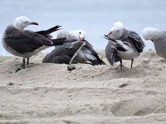 Ballerina birds, before the dance (Bennilover) Tags: seagulls ballerinas dance preening grace graceful lagunabeach