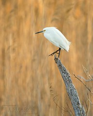 Evening on the Marsh (T L Sepkovic) Tags: snowyegret egret wader shorebirds waterbirds sunset marsh glow eveningglow canon 5dmkiv teamcanon lenscoat promediagear wildlifephotography