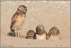 Oh Happy Fourth! (maguire33@verizon.net) Tags: bird burrowingowl owl owlet siblings wildlife