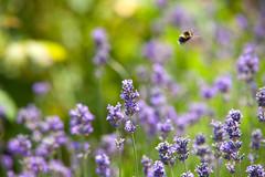 Sexbys Gardens SE15 (Adam Swaine) Tags: naturelovers nature bees bumblebee insects lavender flora flowers beautiful summer wildlife london londonparks peckehamryepark canon britain british england rural english seasons naturesfinest naturewatcher flower