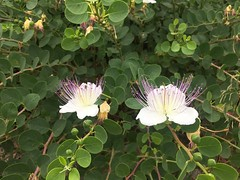 Blooming Caper Tree
