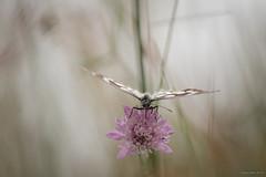 Flying Low (oskaybatur) Tags: nature 2018 oskaybatur pentaxk3 pentaxart justpentax butterfly dof flower summer june smcpentaxdal55300mmf458ed türkiye turkey turkei marbledwhite melanargiagalathea ormanmelikesi