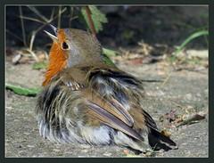 023212 2018 8 Juli Amersfoort (mensinkr) Tags: birds vogels robin roodborstje