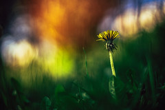 #238 - Dandelion / Pampeliška (photo.by.DK) Tags: planar planar50 planar5014 carlzeiss carlzeissplanar carlzeissplanar5014 carlzeisslens cz czplanar czplanar50 50mm 50mmf14 zeiss zeisslens contax contaxyashica cy oldlens legacylens manuallens manualfocus manual manualondigital bokeh bokehlicious bokehful vintage vintagelens sonya7 sonyilce sony sonyalpha sonya7ii shotwideopen wideopen wideopenbokeh dandelion pampeliska artbydk photobydk