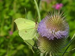 Brimstone Butterfly (Gonepteryx rhamni) (Nick Dobbs) Tags: brimstone butterfly gonepteryx rhamni pieridae coliadinae