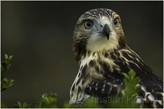 red-tailed hawk (Christian Hunold) Tags: redtailedhawk buteojamaicensis rotschwanzbussard urbanhawk philadelphia christianhunold