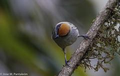 5-CASI ENDEMICA!!La Tangara Rastrojera es una especie Casi Endémica para Colombia. Es muy común y por lo general tolera áreas perturbadas. Tangara deriva de la lengua Tupí y significa bailarín. El epíteto vitriolina deriva del latín vitreolus = de cristal (Cimarrón Mayor 14,000.000. VISITAS GRACIAS) Tags: ordenpasseriformes familiathraupidae génerogénerotangara tángaradelosmatorrales tangaramatorralera tangarárastrojera macho nombrecientificotangaravitriolina male nombreinglesscrubtanager statuscasiendemica endémica casi soloestaencolombiayecuador lugardecapturafincaalejandría cali colombia ave vogel bird oiseau paxaro fugl pássaro птица fågel uccello pták vták txori lintu aderyn éan madár cimarrónmayor panta pantaleón josémiguelpantaleón objetivo500mm telefoto700mm 7dmarkii canoneos canoneos7dmarkii naturaleza libertad libertee libre free fauna dominicano pájaro montañas