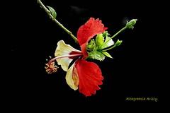 Aberración de la Naturaleza/Nature Aberration (Altagracia Aristy Sánchez) Tags: hibisco hibiscus cayena dominicanrepublic caribe caribbean caraibbi laromana repúblicadominicana blackbackground fondonegro sfondonero altagraciaaristy fujifilmfinepixhs10 hs10 fujihs10 fujifinepixhs10