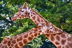 Giraffe duo. (rustyruth1959) Tags: wildlife ears eyes neck tongue food head nature outdoor twogiraffe animal giraffe zoo marwellzoo hampshire england uk tamron16300mm nikond5600 nikon tree leaf branch leaves greenery