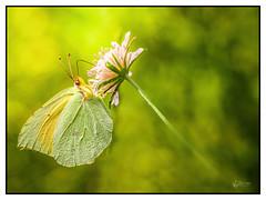 Citron (Olympus Passion eric leroy) Tags: vert olympus omd em1 mkii zuiko insecte macro proxi 40150pro 40150 mc14