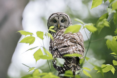 Hidden Hooter.. (DTT67) Tags: barredowl owl birds raptor perched wildlife nature nationalgeographic canon 1dxmkii 500mmii