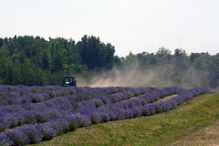 It Takes What It Takes (emerge13) Tags: lavande nature flowers lavender fleurs champsfleuris floraisonestivale summer champs fields floweryfield tractors saariysqualitypictures rural tcp