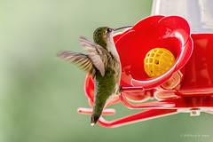 Afternoon Drink (Back Road Photography (Kevin W. Jerrell)) Tags: hummingbirds hummers birds tiny thingsthatfly nikond7200 sigmalens niksoftware photoshoplightroom frontporchphotography nature