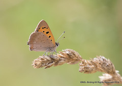 Small Copper (snapp3r) Tags: smallcopper butterfly