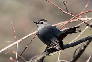 IMG_0945  Gray  Catbird