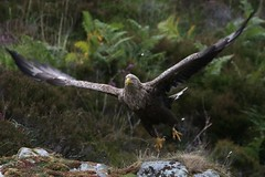 Skye Sea Eagle (ChrisCowiePhotos) Tags: eagle scotland west bird wildlife birdofprey birds wingspan raptor fishing talons skye coast whitetailedeagle sea seaeagle