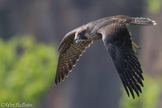 Peregrine Falcon Fledgling In Flight (Explored)
