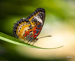 Leopard Lacewing (jt893x) Tags: 105mm afsvrmicronikkor105mmf28gifed butterfly cethosiacyane d810 insect jt893x lacewing leopardlacewing macro male nikon thesunshinegroup coth alittlebeauty coth5 sunrays5