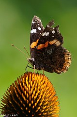 Summer Kisses (flipkeat) Tags: vanessa atalanta redadmiral butterfly closeup insect entomology ventral view awesome bugs bug portcredit mississauga sony a77ii farfalle papillon nature red admiral