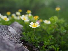Aleutian avens (murozo) Tags: aleutian avens flower alpine plant green mountain mtgassan yamagata japan チングルマ 花 高山植物 山 月山 緑 山形 日本