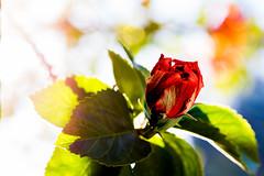 Unfurling beauty (Kendar Creatives) Tags: flowers hibiscus boleh buds green foilage sydney australia