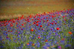 Poppies and cornflowers - Papaveri e fiordalisi