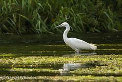 Little Egret (Ponty Birder) Tags: g b wheeler garywheeler pontybirder birds egret england