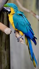 Blue and Gold Macaw (R.A. Killmer) Tags: blue gold macaw bird kingdom perch beak feathers fly talons niagara falls ontario canada avian aviary